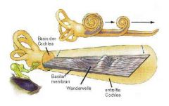 Deflection of the oval window triggers a wave in the cochlea which spreads on the basilar membrane. The wave reaches a maximum for each frequency at its typical place on the basilar membrane