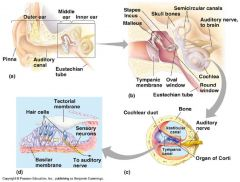Inner ear:  - from oval window to round window  - main component: cochlea (consisting of scala vestibuli, scala tympani, basilar membrane)  - function: mapping of the excitation frequencies on to different places on the basilar membrane...