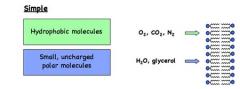 Simple diffusion: * Small, non-polar (lipophilic) molecules can freely diffuse across the membrane
