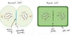 in plant cells, a cell plate forms towards the end of telophase & cytokinesis sees the cell wall growing on the plate
