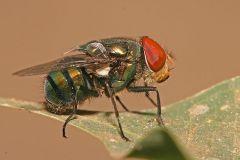 Family Calliphoridae