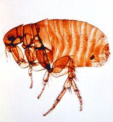 Genus Ctenocephalides