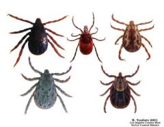 Family Ixodidae, Genus Amblyomma or Dermacentor