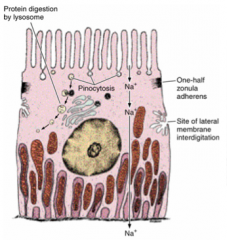 - basal striations that parallel the longitudinal axis of the cell - striations are due to deep infoldings of the basal plasma membrane (compartmentalize mitochondria)