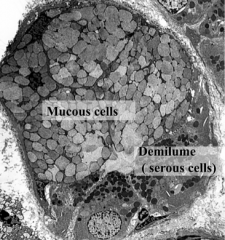 Peripheral to the mucous acini  -deliver their secretions into their spaces between the neighboring mucus-producing cells