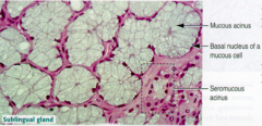 Mucous cells that predominate with serous cells only present in demilunes on mucous tubules -mucous cells resemble goblet cells of the intestinal epithelium