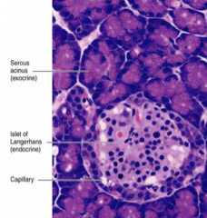 Pancreas *acini contain secretory cells with basophilic cytoplasm - different types of endocrine cells are seen in the islet
