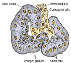 -Pyramidal in shape -round nucleus that is basally located -Apical region densely packed with secretory granules (zymogen granules) -RER at their base  --> strongly basophilic basal region -intercalated duct cells known as centroacinar cells ...