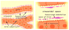 line sinusoids and have large fenestrations