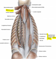 -Splenius: superficial layer; extends head -Erector spinae: middle layer; extends flexed trunk -Transversospinalis: deep layer; extend the back