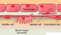 = phagocytic cells that are derived from monocytes