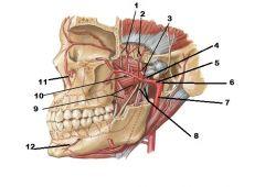 Anatomy Lab- Practical 4- DEEP FACE AND TEMPOROMANDIBULAR