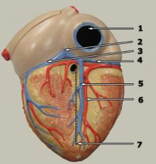 A&P II: Lab #1 Heart Models Flashcards - Cram com