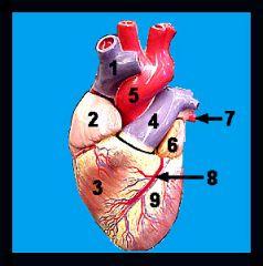 A&P II: Lab #1 Heart Models Flashcards - Cram com